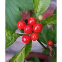Aji charapita red seeds