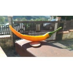 Artiglio di drago orange fluo seeds