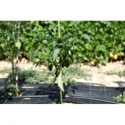 Peperoncino Jalapeno seeds