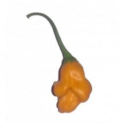 Bishop Crown Orange seeds