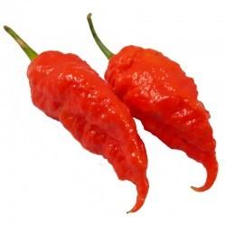 Dried Jais Ghost Scorpion Red