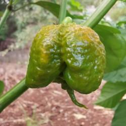 Mustard Carolina Reaper Seeds