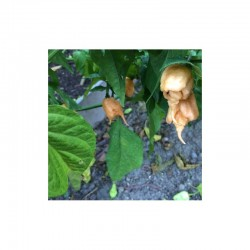 Peach California Reaper Seeds