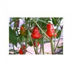 Dried Macarena