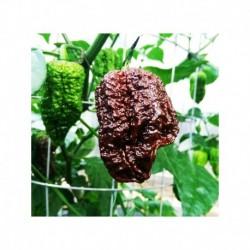 Nagabrain chocolate seeds