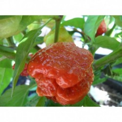 Trinidad Moruga Caramel semillas